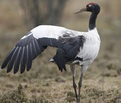 Black Neck Crane spreading its wing