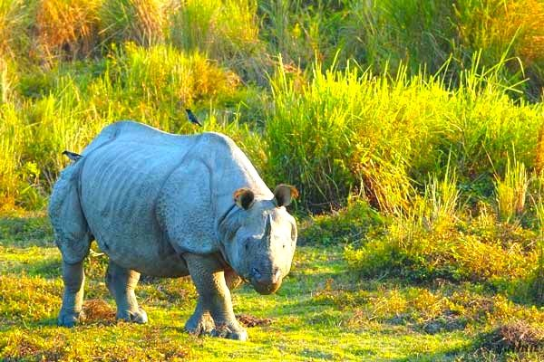 The famed one horned Rhinoceros in Kaziranga National Park